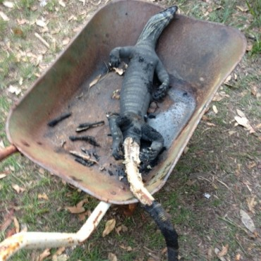 The cooked goanna-we just ate pieces of meat off the tail.