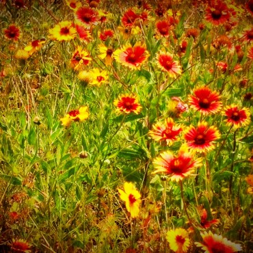 More Wildflowers- these are Indian Blankets.
